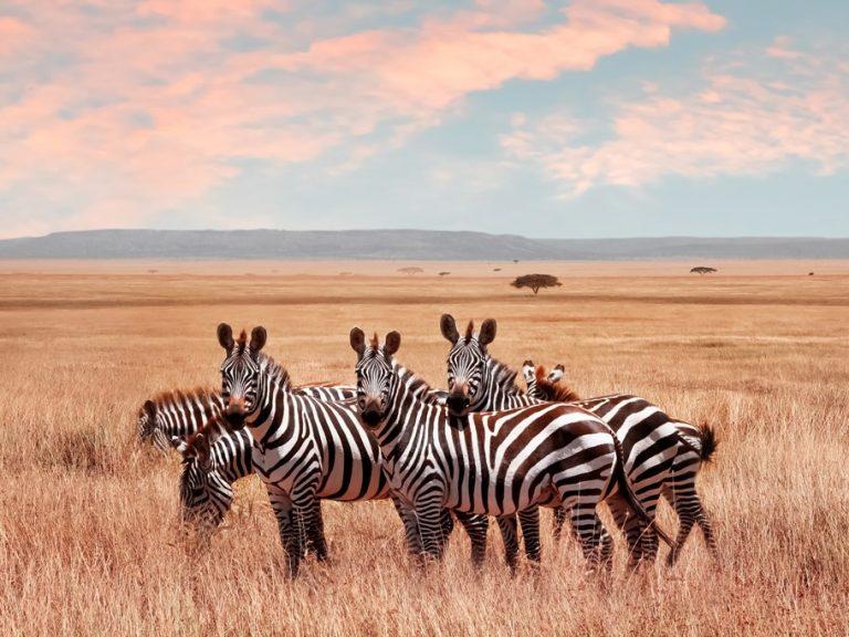 Zebras-in-Serengeti-National-Park-Tanzania2
